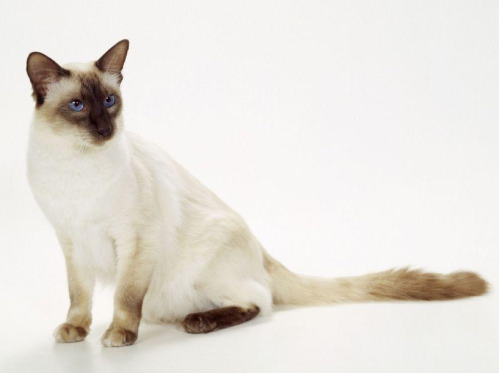 chat Balinais