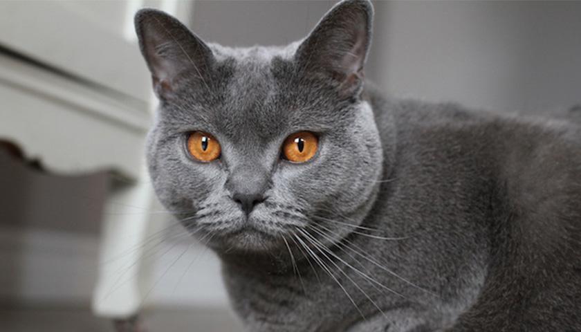 Chat de la race Chartreux , le magnifique chat bleu,gris
