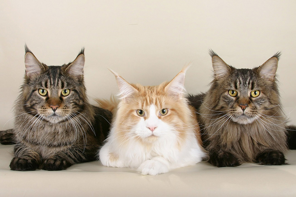 race de chat Maine Coon