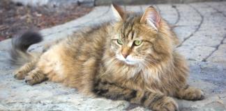 chat de race Sibérien