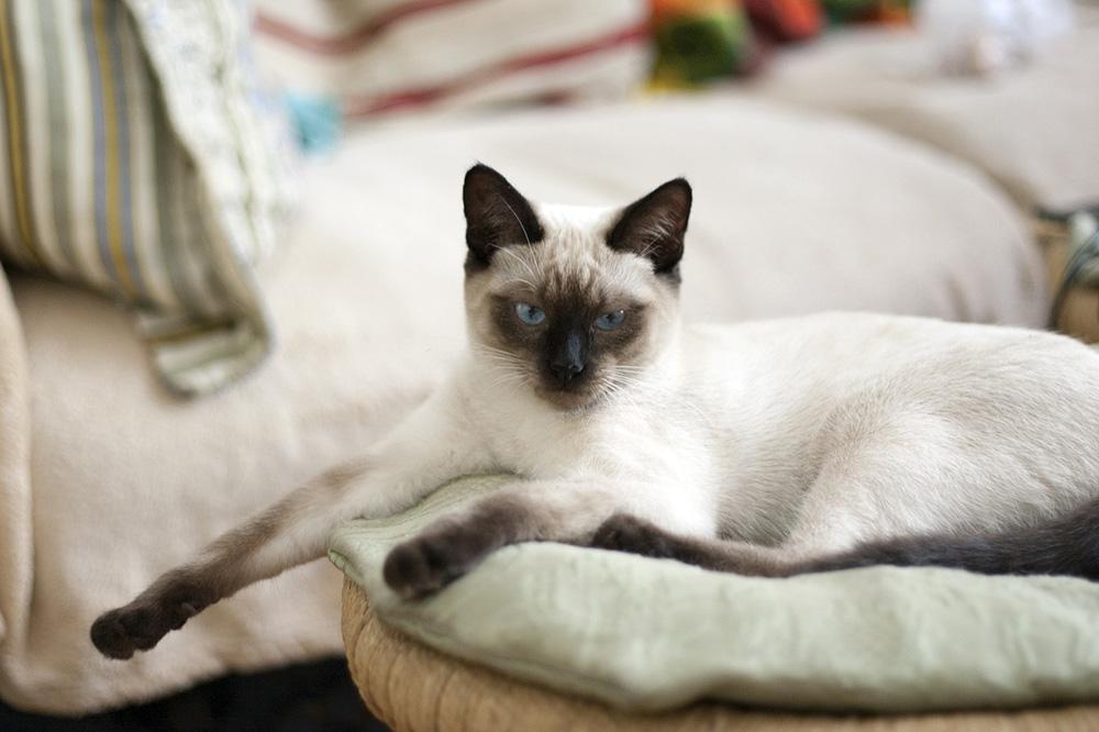 chat Thaï