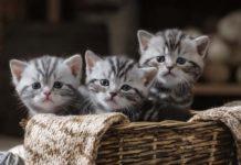 obtenir un pedigree LOOF pour son chat