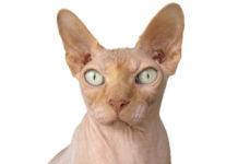 race de chat sans poils