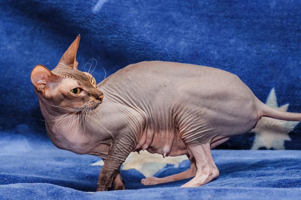 races de chats les plus rares en France