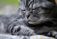 chatte en chaleur