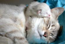 gestation de la chatte