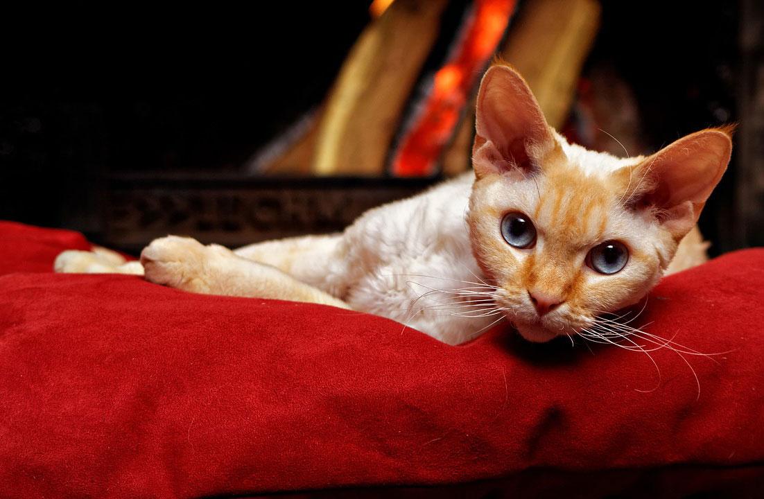 races anti allergique en cas d'allergie aux chats