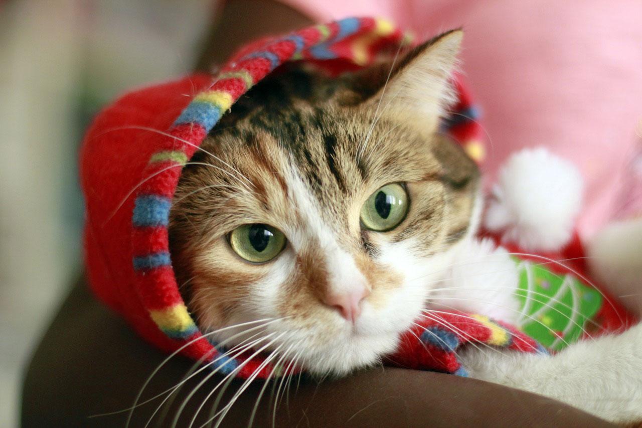 race choisir comme chat d'appartement