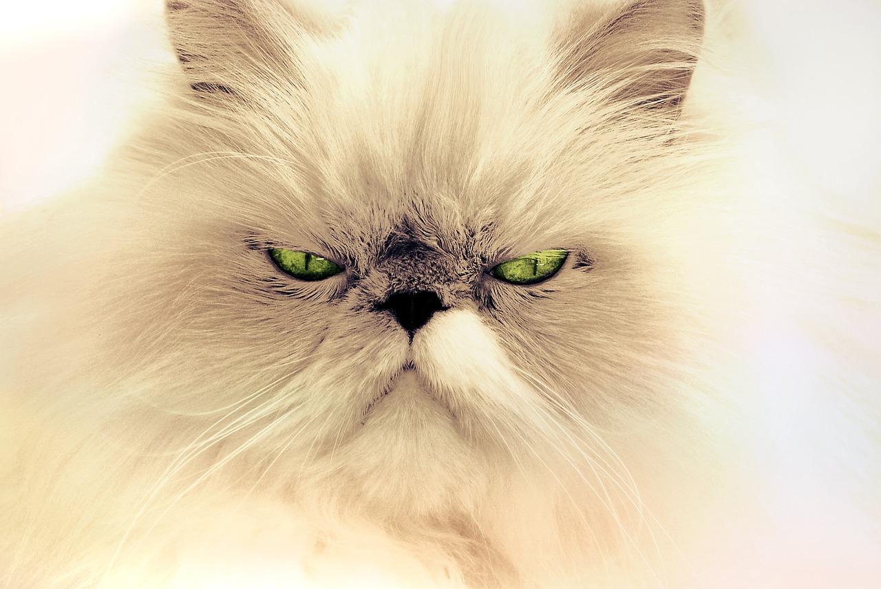 races de chats préférées