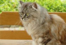 races de chat à poils longs