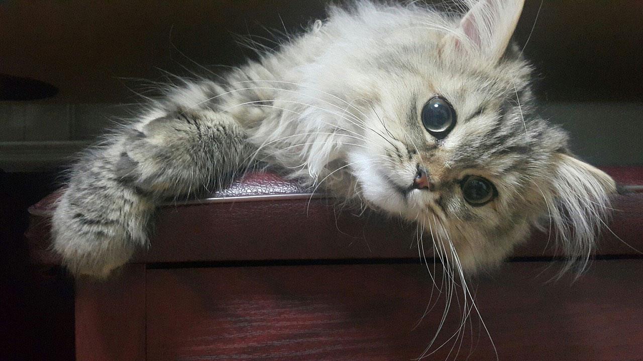 Une race de chat calme