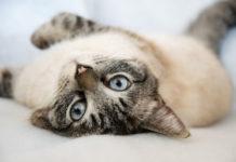 races de chats les plus affectueuses