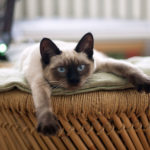 races de chats les plus calmes