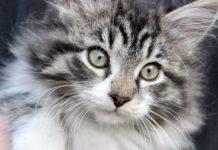 races de chats préférées des français