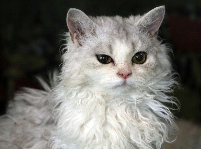 chat frisé