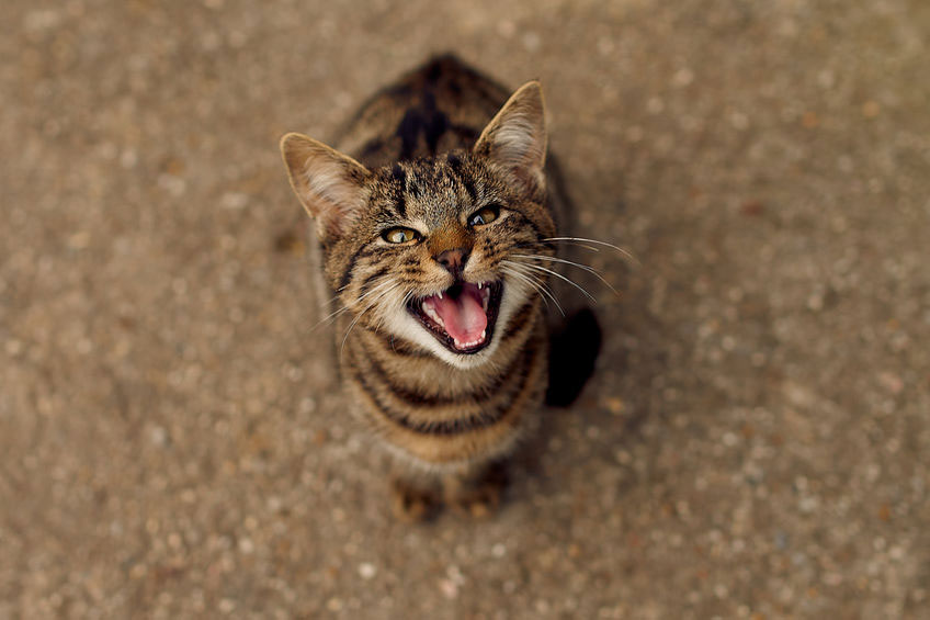 chat miaule constamment