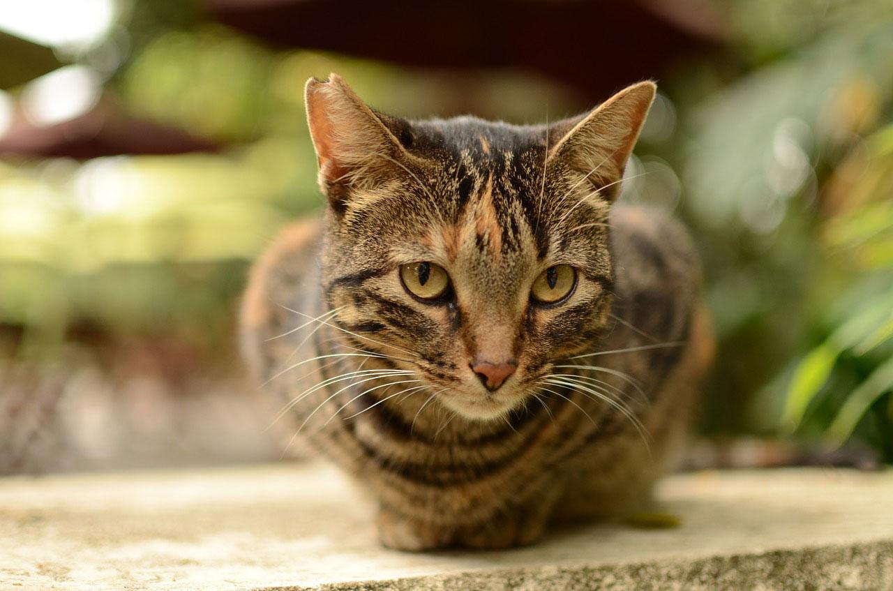 soigner le pelage du chat avec de l'huile de coco