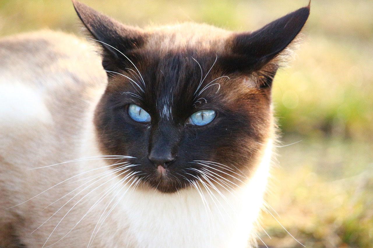 Prix d'achat des 15 races de chats