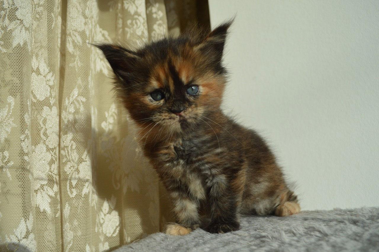 prix d'achat d'un chat de race