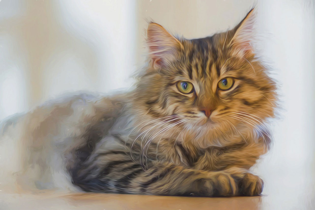 races de chats les plus grandes