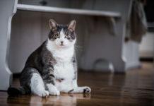 durée de vie d'un chat