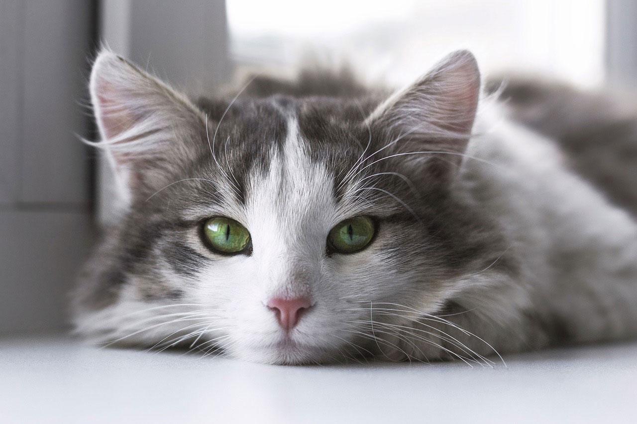 Caractère de votre chat de race