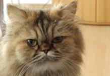 races de chats au visage plat ou aplati