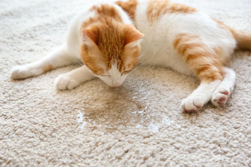 odeur urine d'un chat