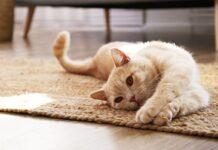 gérer une prise de poids d'un chat