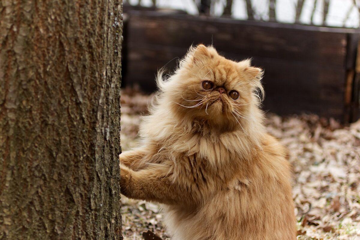 chat de la race Persan