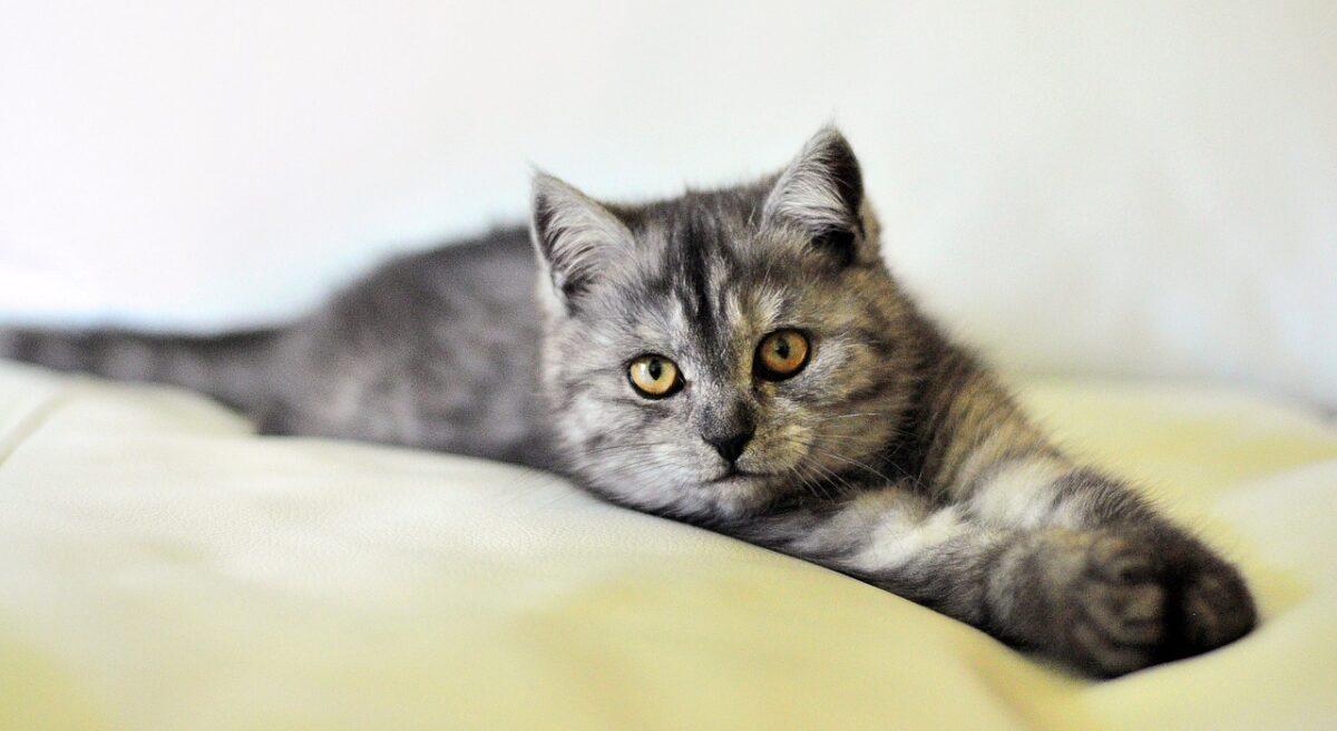 chat urine sur un lit