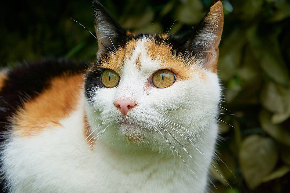 le chat isabelle