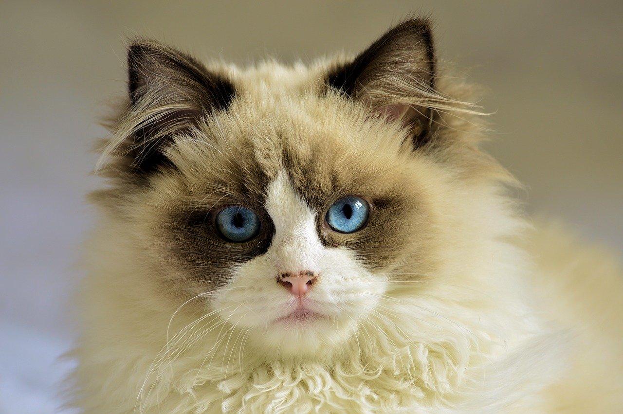 race chat yeux bleus