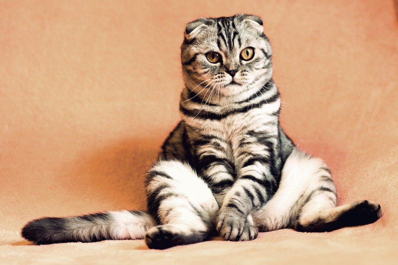 dangers du diabète pour un chat