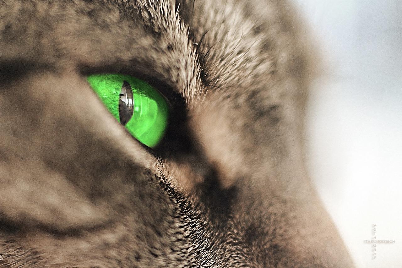 chats aux yeux verts