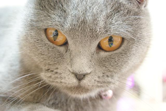 race avec chat gris
