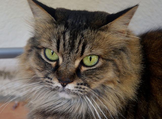 races de chat aux yeux verts