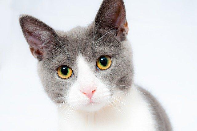 comprendre son chat avec ses oreilles