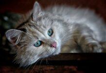 nettoyer les yeux de son chat