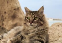 plus belles races de chat au monde