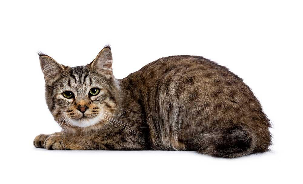 race de chat Pixie-Bob