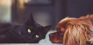 races de chat qui agissent comme des chiens