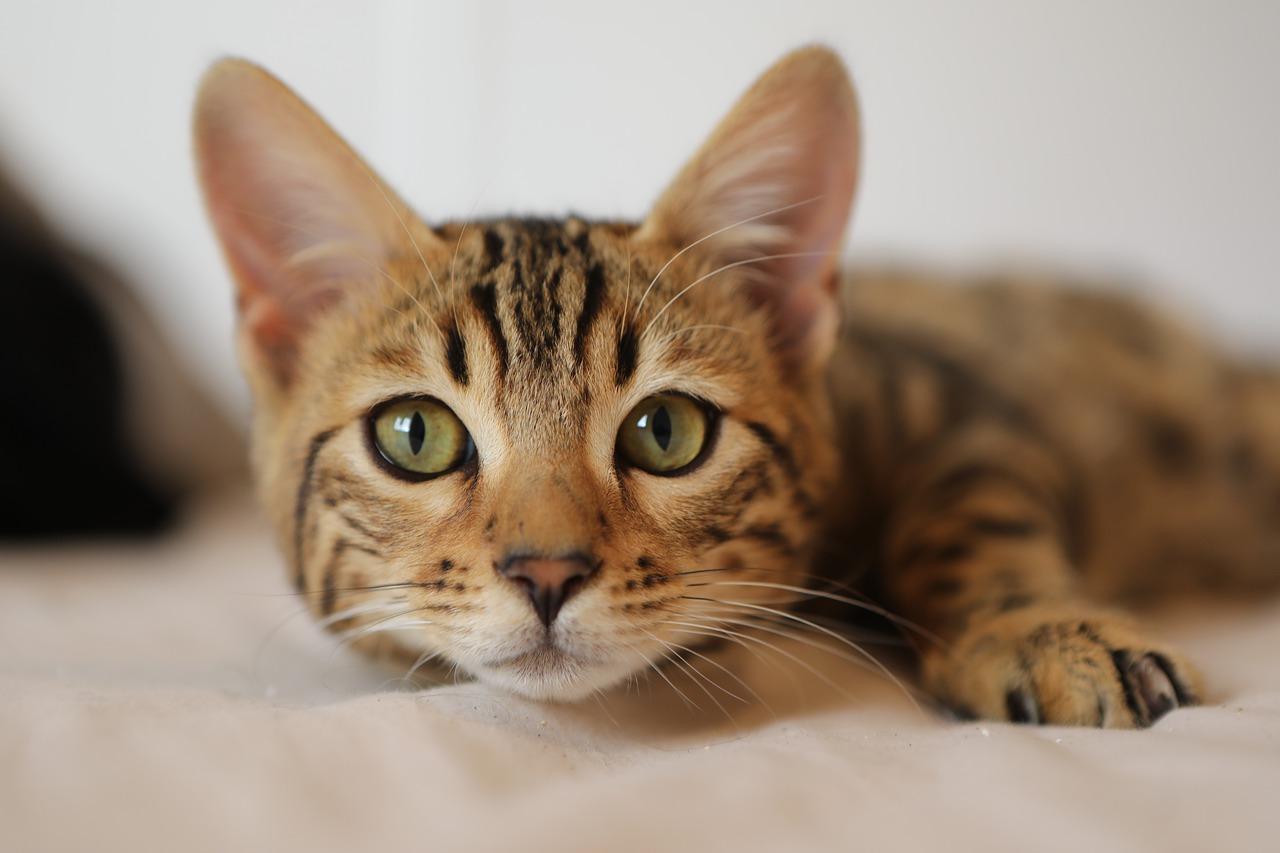 race de chat idéale selon votre signe astrologique