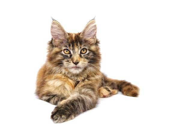 races de chat oreilles de Lynx