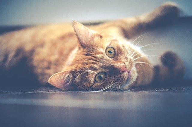races de chat roux et blanc
