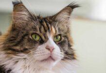 races de chat avec oreilles de Lynx