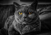 ronronnement du chat