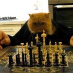 chat qui joue aux échecs