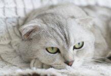 races de chat adaptées pour une vie en appartement