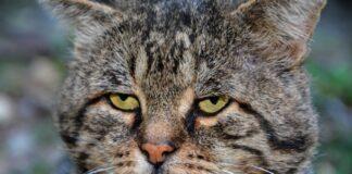 races de chat qui vivent le plus longtemps